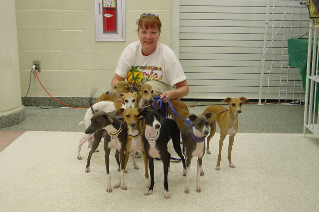 Italian+greyhound+puppies+for+sale